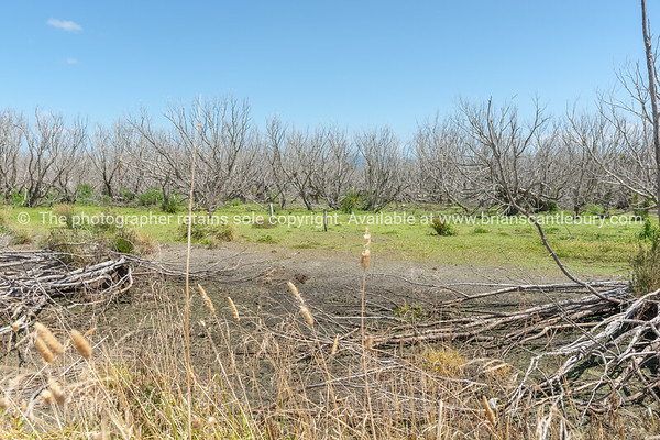 Dead trees in the swamp Boggy Pong Walk Lake Wairarapa New Zealand