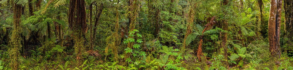 Rainforest near Fox Glacier Village