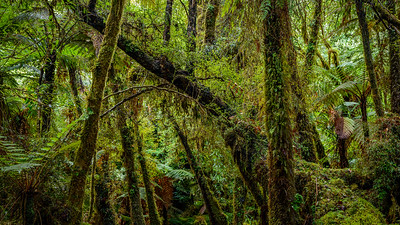 Temperate Rainforest, Fox Glacier, Westland