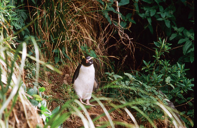 Tawaki / Fiordland Crested Penguin, Robinson Crusoe Beach, South Island