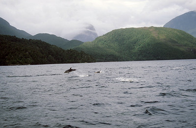 Bottlenose dolphin in Doubtful Sound, West Coast, South Island