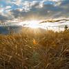 Sunbursts from behind Benmore Range in distance beyond long golden grass