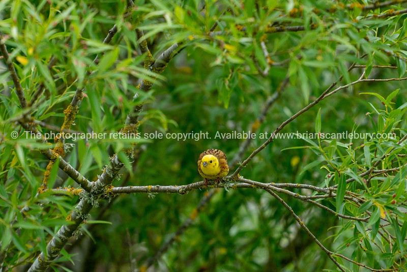 Yellowhammer in willow tree alongside Kaiapoi River, Canterbury New Zealand.