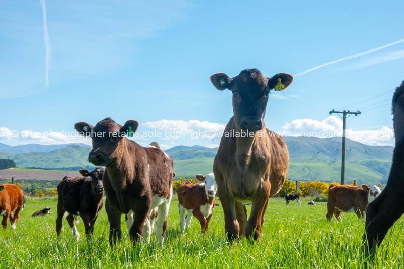 Cattle on farm field