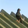 Starling on metal roof with beak of worms to feed young.