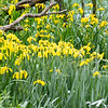 Bright yellow bog iris flowers on banks of Kaiapoi River