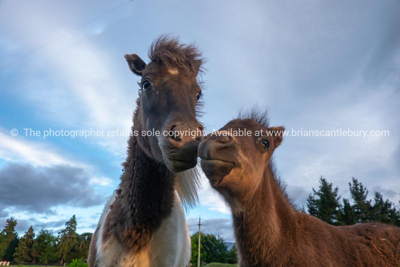 Shetland ponies and foals