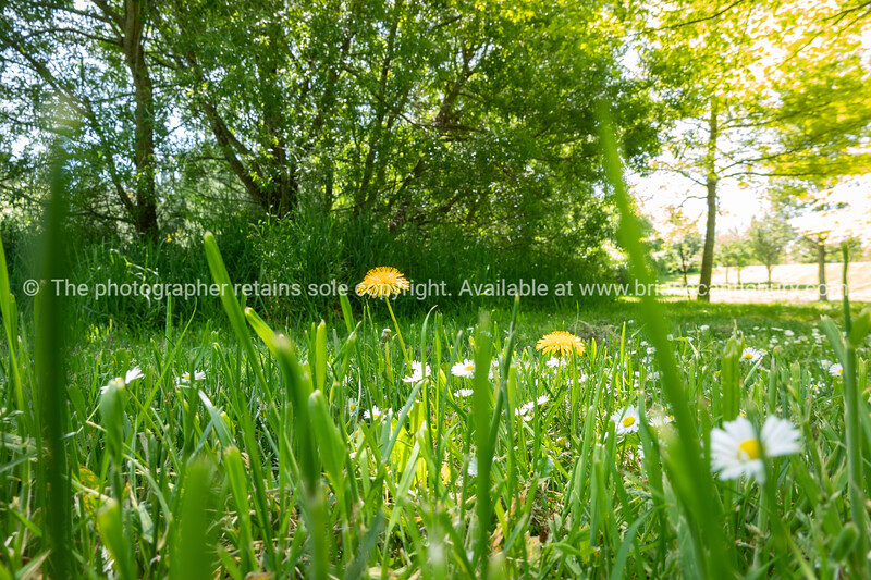 Ground level view of grass, daisies and yellow dandelions