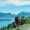 Brown cow and calves with snow capped Southern Alps across Lake Ohau background