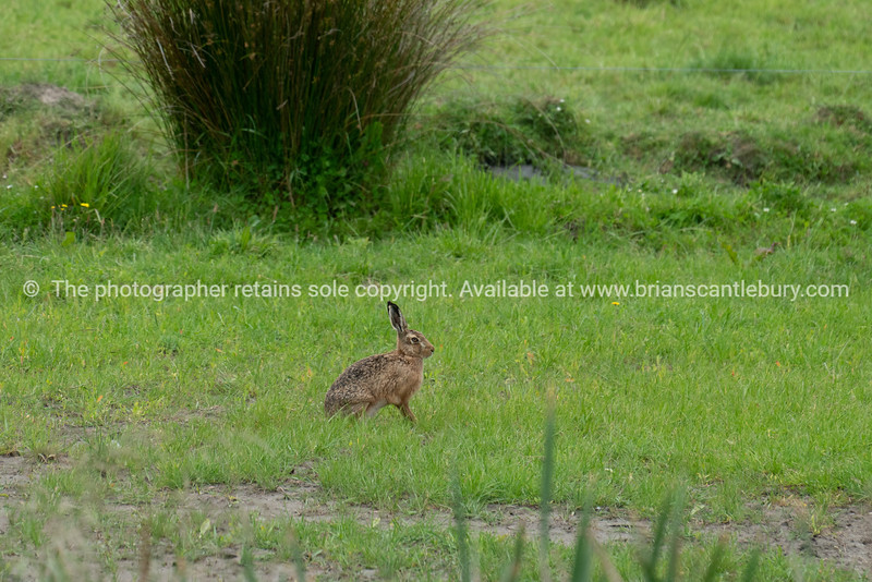 Brown hare stationery and alert in field