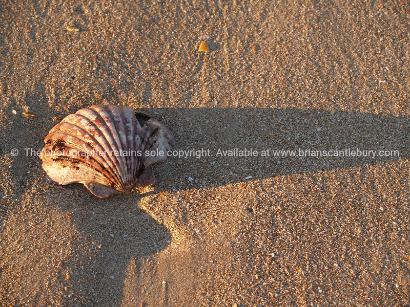 Scallop shell on sand.