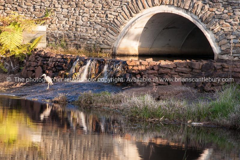 Heron, Golf course lake, Pauanui. Lakes Golf Resort. New Zealand images.