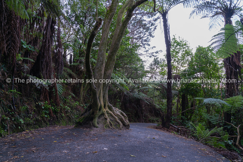 Walking track to Cathedral Cove with tree and roots growing exposed in ball shape over big rock.