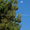 Pinus Radiata against blue sky  and moon.
