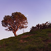 Lone pine standing on ridge back'lit by rising sun