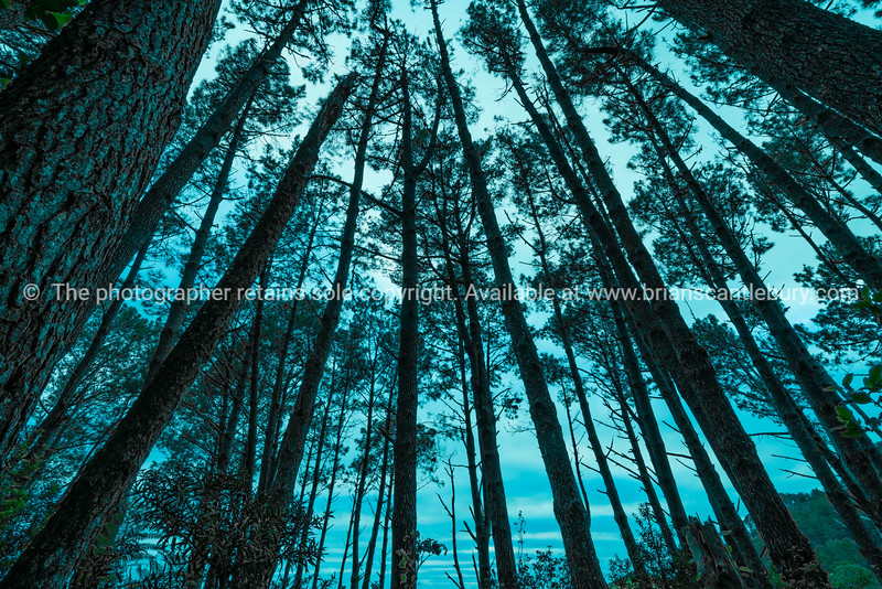 Converging tall pine trees