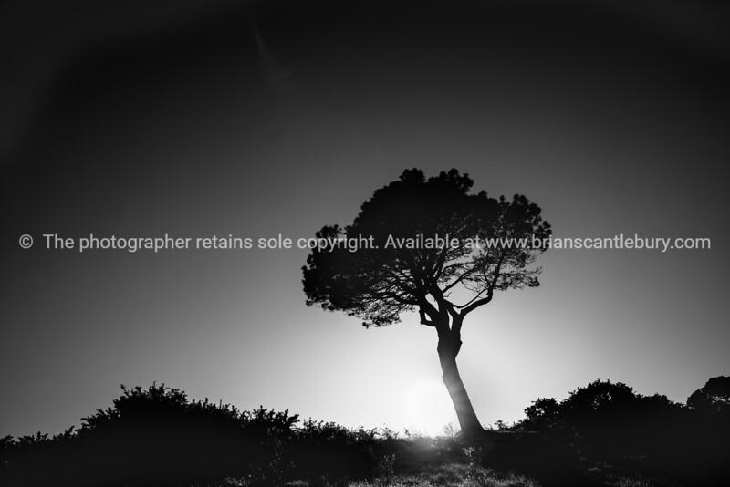 Lone pine standing on ridge back'lit by rising sun