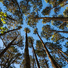 Towering high overhead plantation pine trees converge skyward.