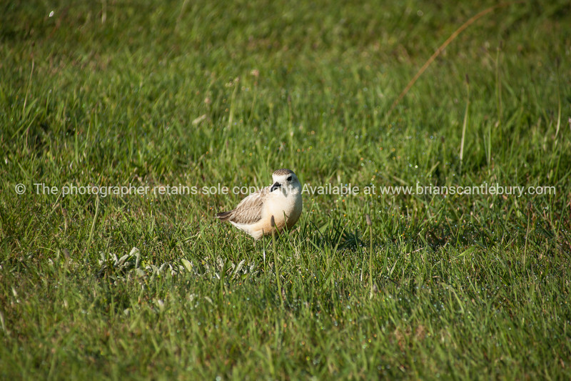 Dotterel in field.