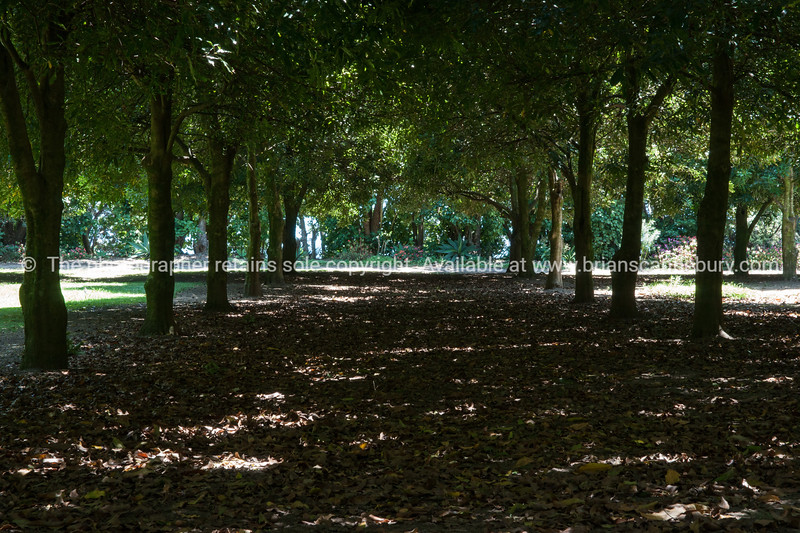 Macadamia tree grove. Whanarua Bay orchard. New Zealand images.