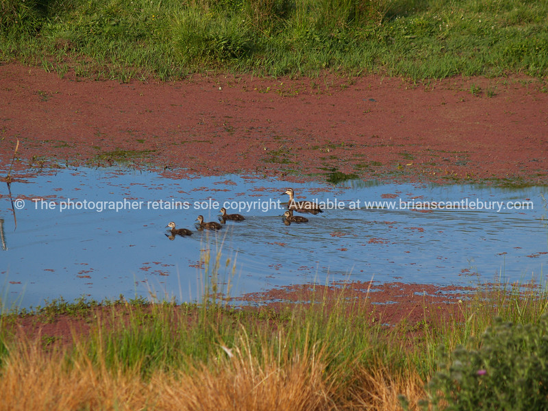 Ducks in red algae pond. New Zealand images.