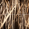 Dry bullrushes closeup Pekapeka Wetlands, Hawke's Bay, NZ