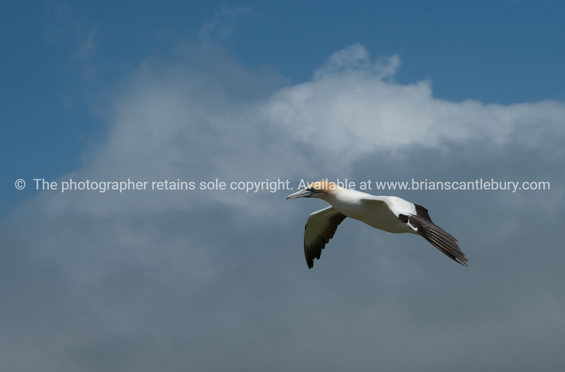 Cape Kidnappers, gannets