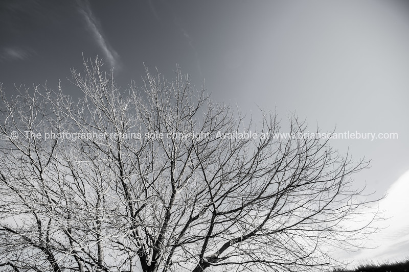 Winter tree, monochrome.