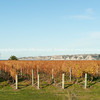 Cape Kidnappers over autumn vineyards