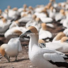 Gannet colony. New Zealand Image.