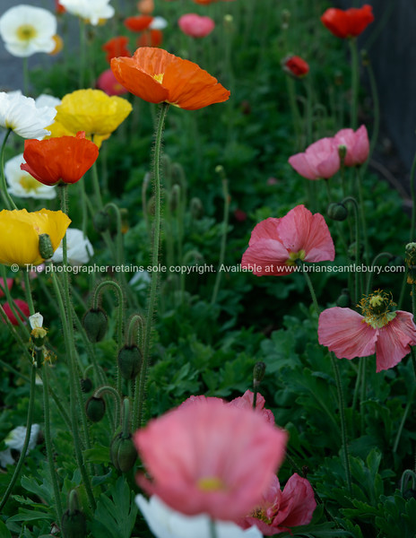 Iceland poppies.