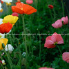 Iceland poppies in Napier Gardens. New Zealand images.