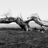 Old tree dead and split lying across ground.