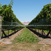 Blenheim vineyards and winery. New Zealand Image.