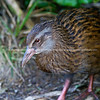 Weka. New Zealand wildlife images.