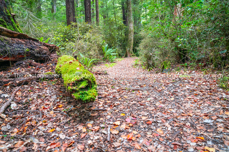 Walking track in New Zealand beech forest
