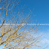 Deciduous tree under blue sky.
