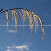 Arched toetoe seedhead. New Zealand images.