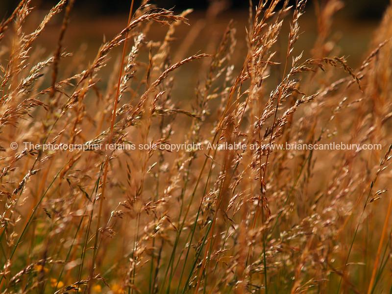 Golden grass. new Zealand image.