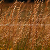 Golden grass. new Zealand image.