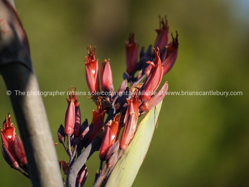 New Zealand red flax flower. New Zealand Images.