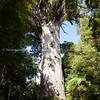 giant kauri tree tane mahuta