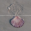 Scallop shell and impression.