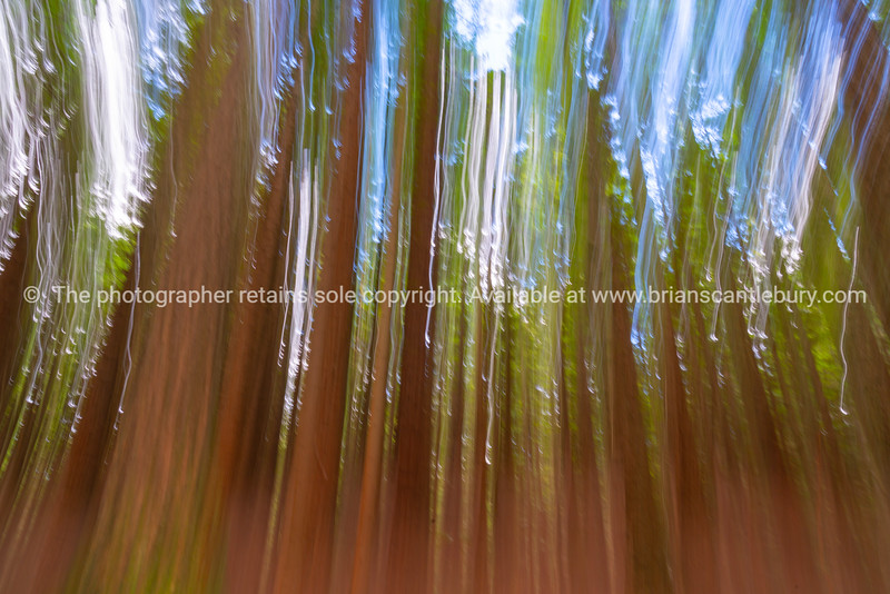 Abstract image of tall trees Whakarewarewa Redwood Forest