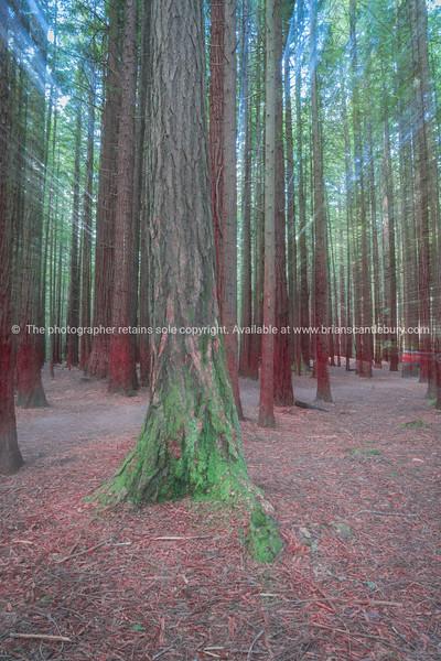 Abstract forest Whakarewarewa Redwood Forest