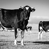 Black and white Friesian cows