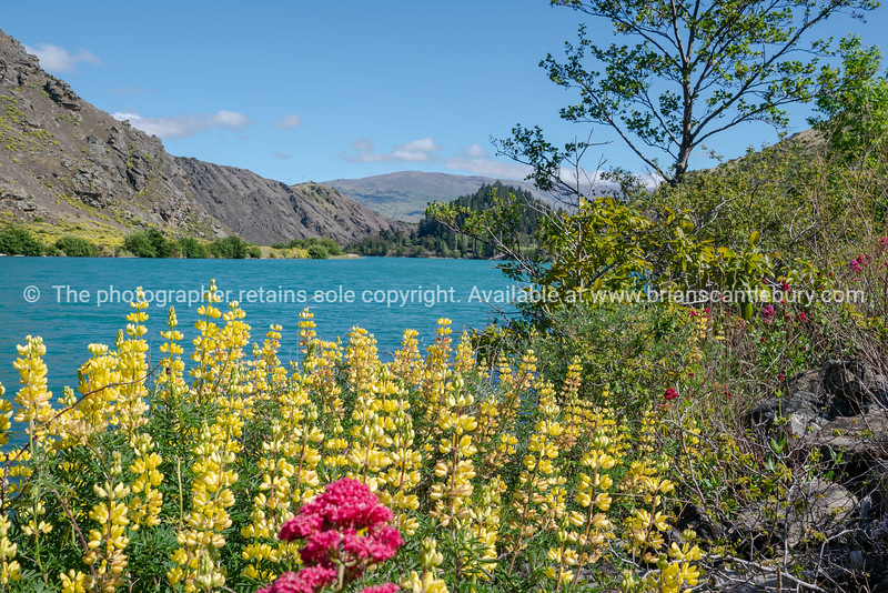 Bright spring colours of yellow lupin wildflowers on bank of Clutha River
