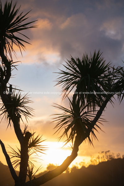 New Zealand cabbage tree in silhouette at sunrise against a dramatic cloudy sky