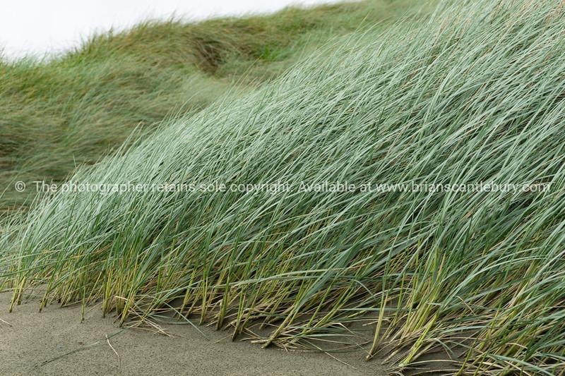 Windswept marram grass on Oreti Beach