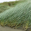Windswept marram grass on Oreti Beach